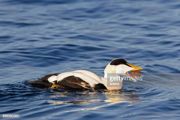Common eider male eating sea urchin while swimming in winter
