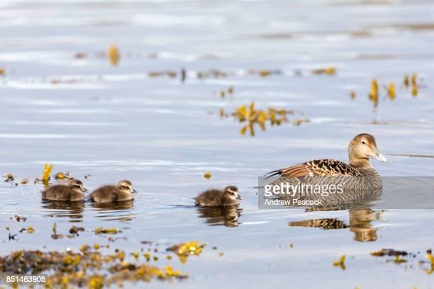 Common Eider'nAdult female duck with chicks, Vigur Island