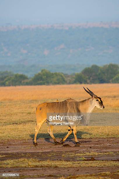 A common eland is walking through the grassland at the Ol Pejeta Conservancy in Kenya
