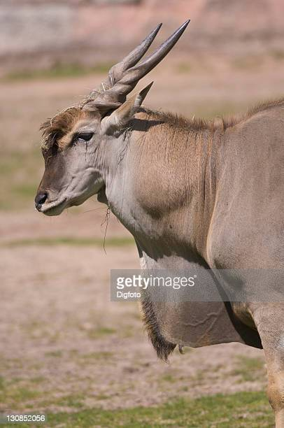 common eland (taurotragus oryx) - vista lateral stock pictures, royalty-free photos & images
