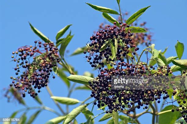 Common elderberry fruit cluster with black elder berries
