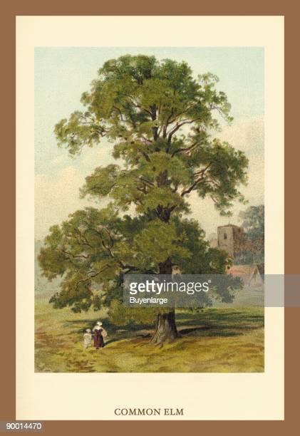 Common Elm