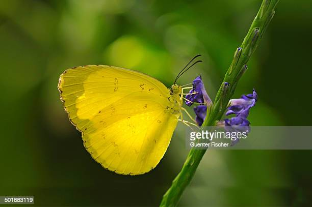 common emigrant or lemon emigrant -catopsilia pomona-, tropical butterfly -pieridae- - animal digestive system stock photos and pictures
