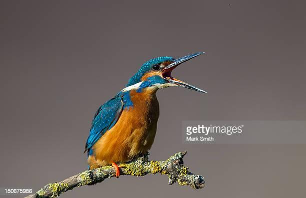 Common Eurasian Kingfisher