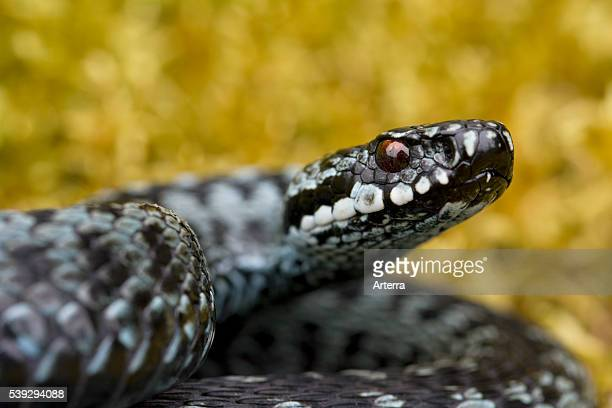 Common European Adder curled up in striking pose grey color phase Sweden