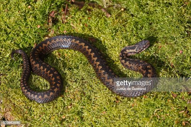 common european viper (vipera berus) sunbathing on moss, schleswig-holstein, germany - schleswig holstein stock pictures, royalty-free photos & images