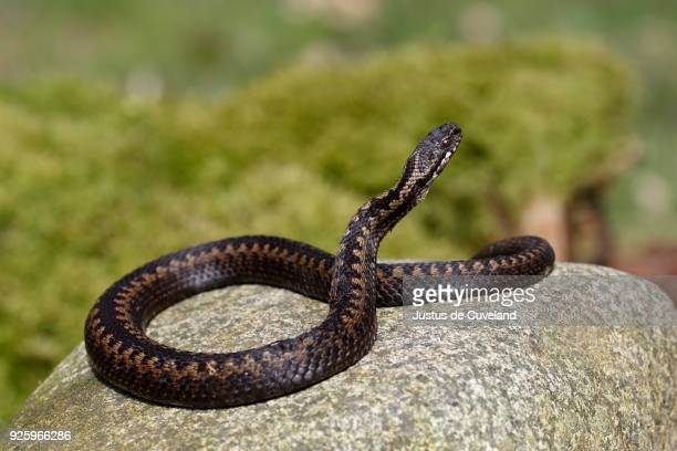 common european viper (vipera berus) sunbathing on stone, schleswig-holstein, germany - schleswig holstein stock pictures, royalty-free photos & images