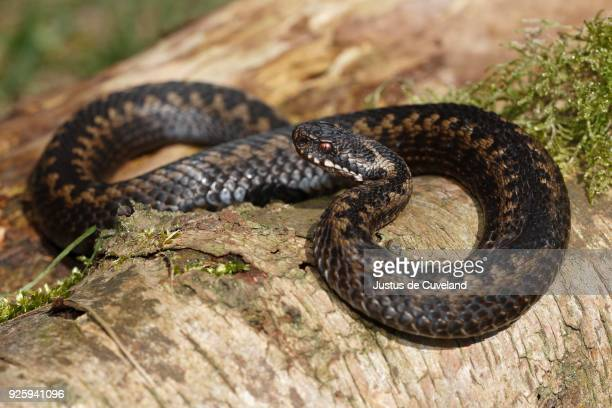 common european viper (vipera berus) sunbathing on tree trunk, schleswig-holstein, germany - schleswig holstein stock pictures, royalty-free photos & images
