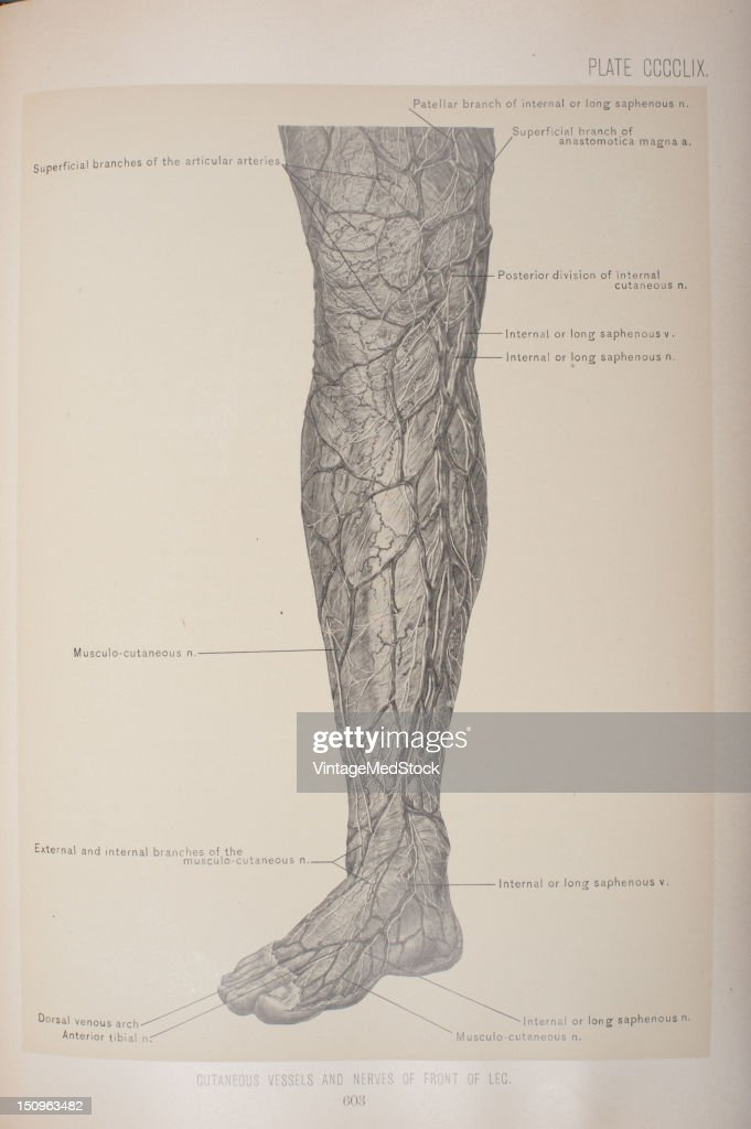 Cutaneous Vessels & Nerves Of Front Of Leg Pictures | Getty Images