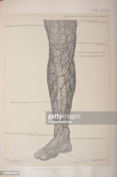 Saphenous Nerve Stock Photos And Pictures Getty Images