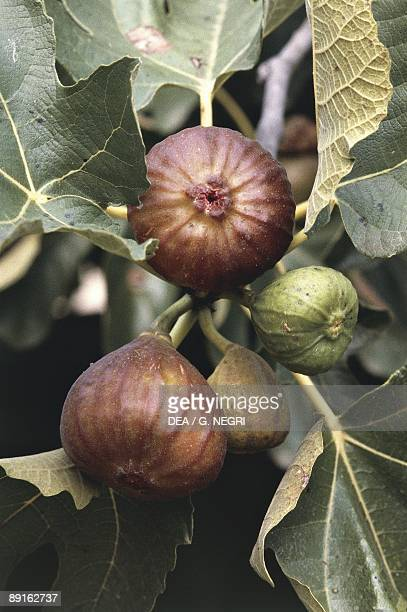 Fig Tree Stock Photos And Pictures