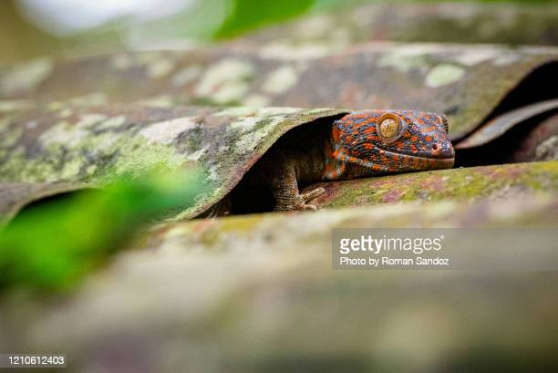 common flat-tail gecko peeking out from under roof tile - uroplatus fimbriatus foto e immagini stock