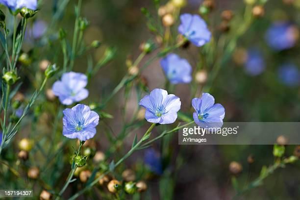 Common flax (Linum usitatissimum)