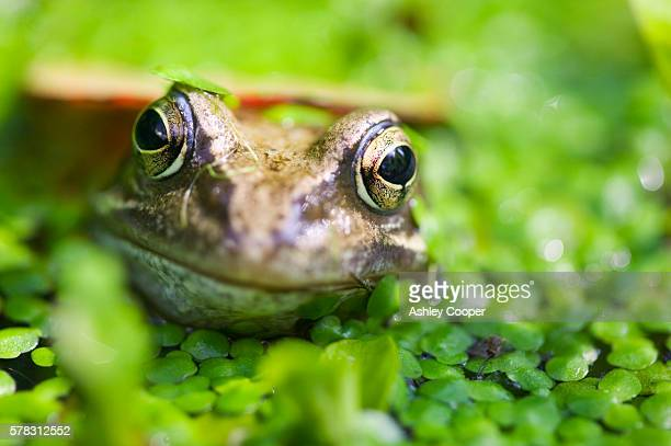 A Common Frog in a garden pond in Ambleside, Cumbria, UK.