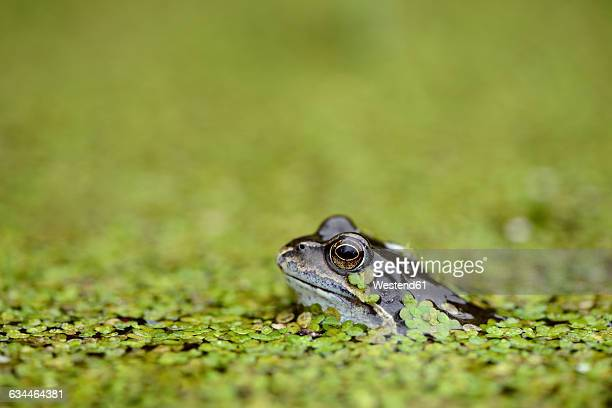 common frog in duckweed in water - frog stock pictures, royalty-free photos & images