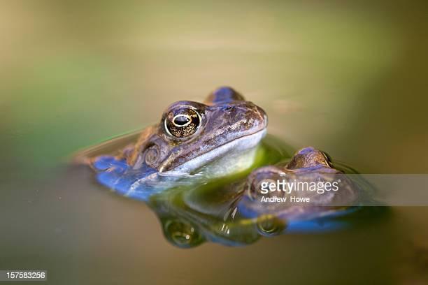 rana temporaria (rana temporaria) - accoppiamento animale foto e immagini stock