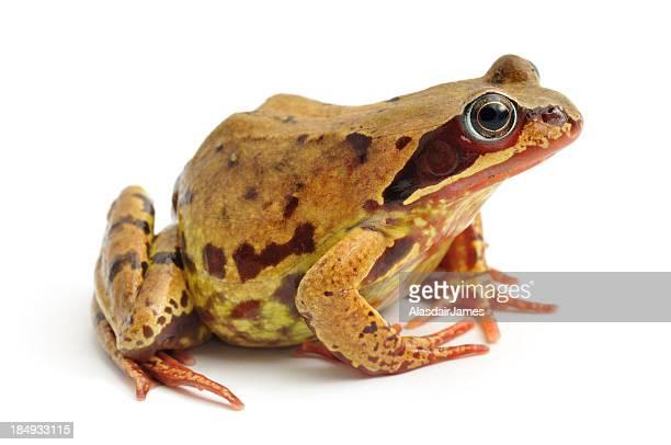 Common Frog(Rana temporaria) profile