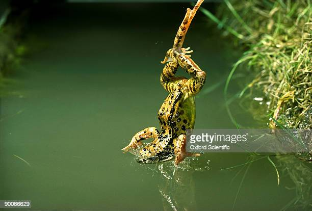 common frog rana temporaria diving into pond oxon,uk
