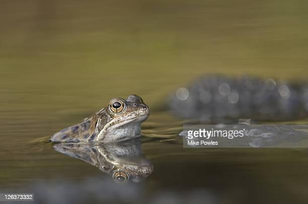 common frog, rana temporaria, in water, near spawn, norfolk, uk - huevos de rana fotografías e imágenes de stock