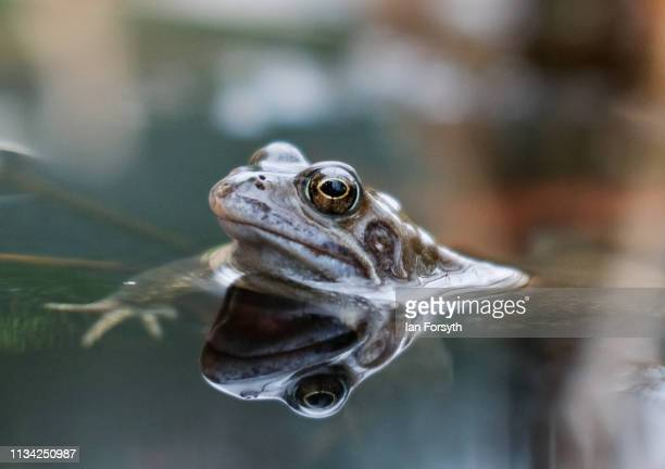 Common frog rests in a small community pond in Saltburn Wildlife Garden on March 07, 2019 in Saltburn By The Sea, England. Common frogs, Rana...