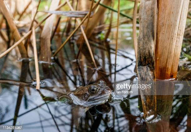 A common frog rests in a small community pond in Saltburn Wildlife Garden on March 07 2019 in Saltburn By The Sea England Common frogs Rana...