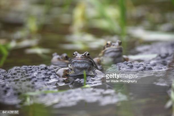 common frog spawning in pond in united kingdom - huevos de rana fotografías e imágenes de stock