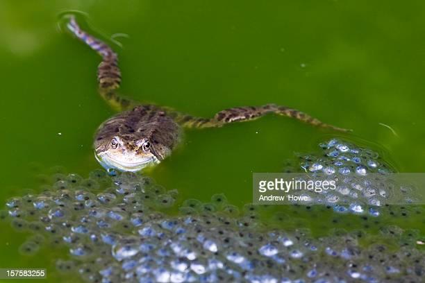 rana común (rana temporaria con spawn - huevos de rana fotografías e imágenes de stock