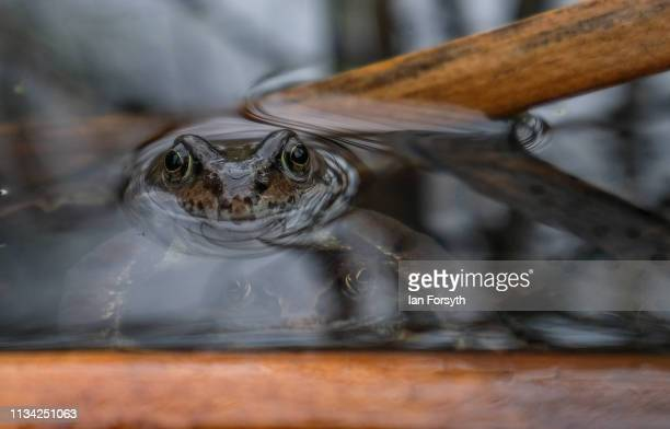 Common frogs mate in a small community pond in Saltburn Wildlife Garden on March 07 2019 in Saltburn By The Sea England Common frogs Rana temporaria...