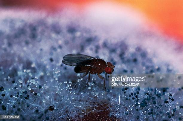 Common fruit fly or Vinegar fly Drosophilidae