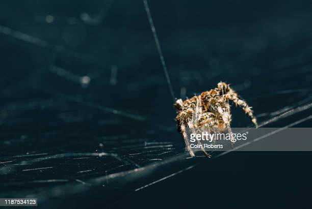 a common garden spider on a web with a dark background - ニワオニグモ ストックフォトと画像