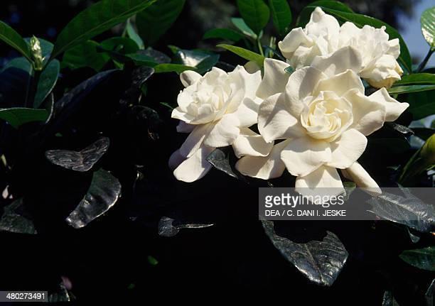 Common gardenia Cape jasmine or Cape jessamine Rubiaceae