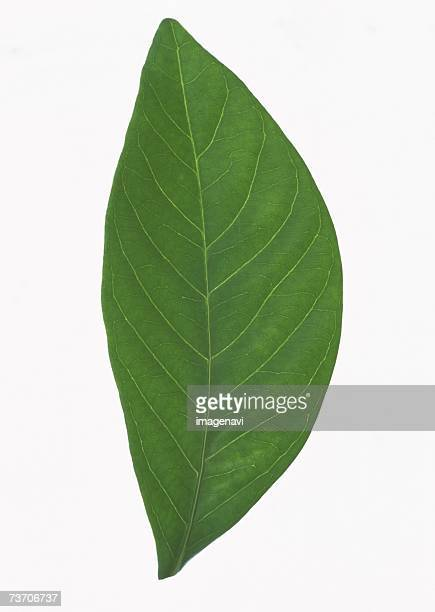 Common Gardenia leaf