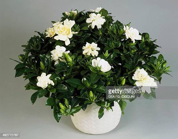 Common gardenia or Cape jasmine Rubiaceae