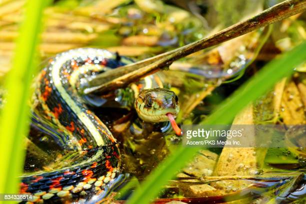 Common Garter Snake (Thamnophis sirtalis) flicking its tongue in a pond