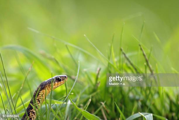 common garter snake (thamnophis sirtalis) - garter snake stock pictures, royalty-free photos & images