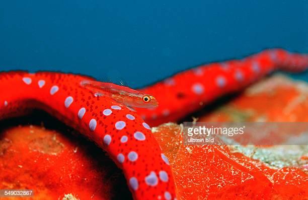 Common ghost goby on Red starfish Pleurosicya mossambica Djibouti Djibuti Africa Afar Triangle Gulf of Aden Gulf of Tadjourah