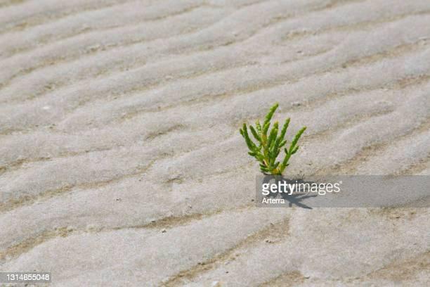 Common glasswort , halophytic annual dicot flowering plant growing on mudflat / mud flat.