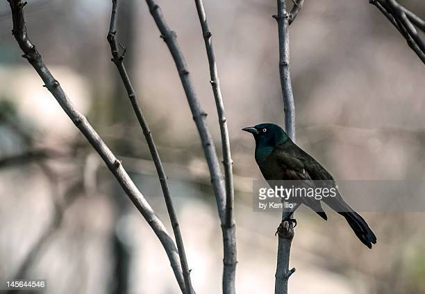 common grackle - ken ilio stock pictures, royalty-free photos & images