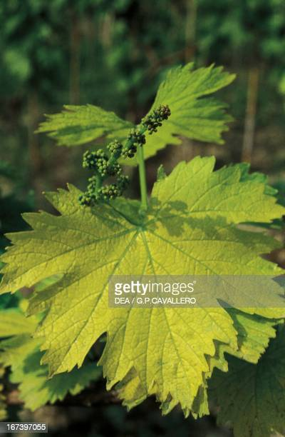 Common grape vine leaves with inflorescence Canelli Langhe Piedmont region Italy