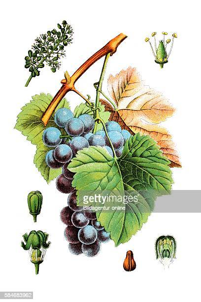 Common grape vine Vitis vinifera