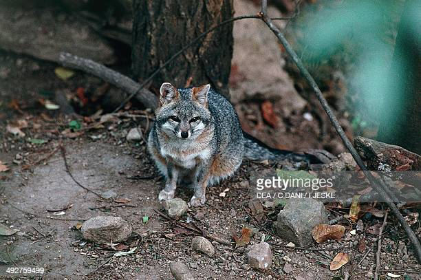 Common Gray Fox Canidae