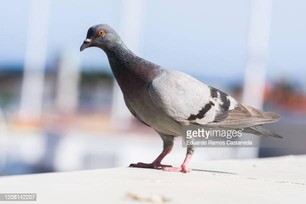 common gray pigeon in the city - pigeon stock pictures, royalty-free photos & images