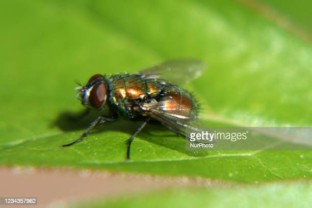 Common green bottle fly on a leaf in Ontario, Canada.