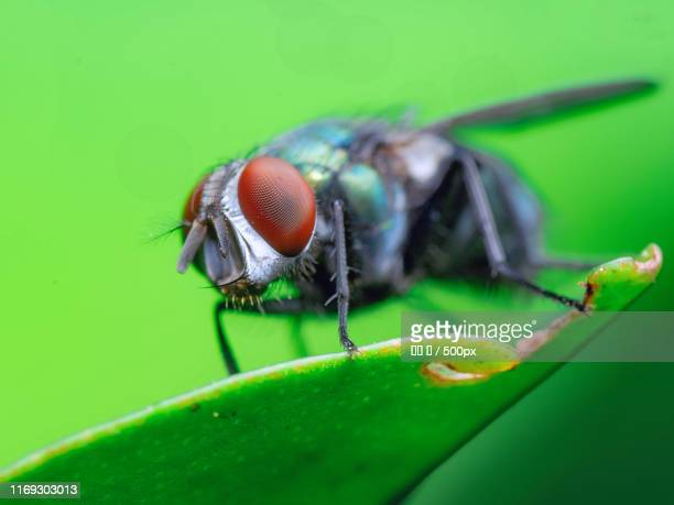 common green bottle fly (lucilia sericata) on leaf - bottle green stock pictures, royalty-free photos & images