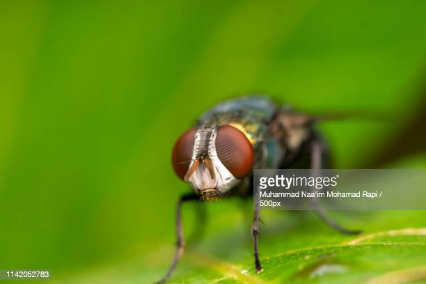 common green bottle fly, (lucilia sericata) - bottle green stock pictures, royalty-free photos & images