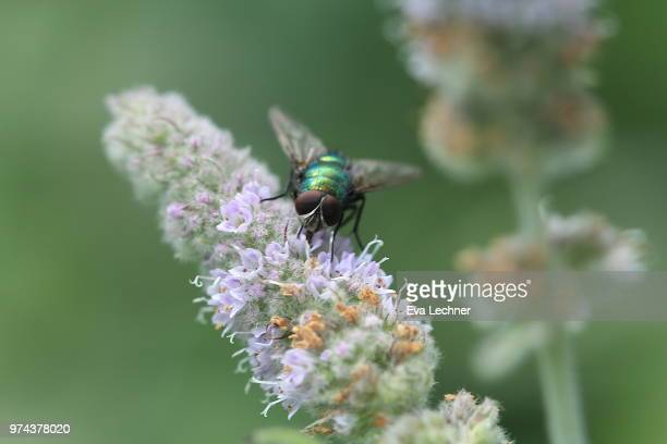 common green bottle fly - bottle green stock pictures, royalty-free photos & images
