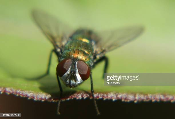 Common green bottle fly rubbing its front legs together on a leaf in Ontario, Canada.