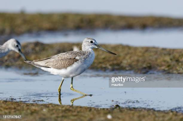 common greenshank (tringa nebularia) - waders stock pictures, royalty-free photos & images