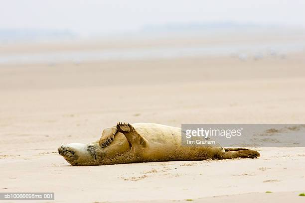 common grey seal, norfolk broads, uk - ecstatic stock pictures, royalty-free photos & images