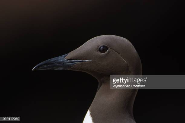 Common Guillemot DSC_1966.jpg